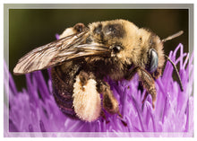 Load image into Gallery viewer, Long-horned bee on thistle