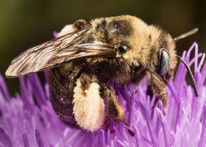Long-horned bee on thistle
