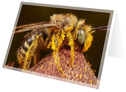 Long-horned bee on black-eyed susan