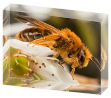 Load image into Gallery viewer, Mining bee on plum blossoms