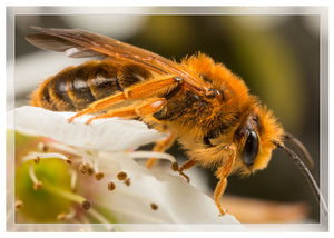 Mining bee on plum blossoms