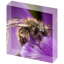 Load image into Gallery viewer, Mining bee on crocus