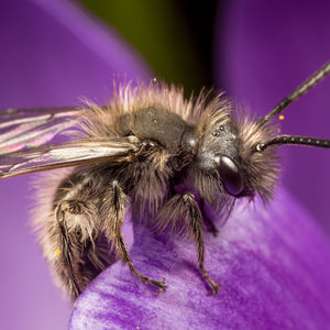 Mining bee on crocus