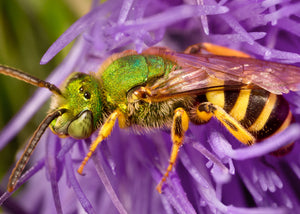 Sweat bee on thistle