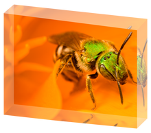 Load image into Gallery viewer, Sweat bee on California poppy