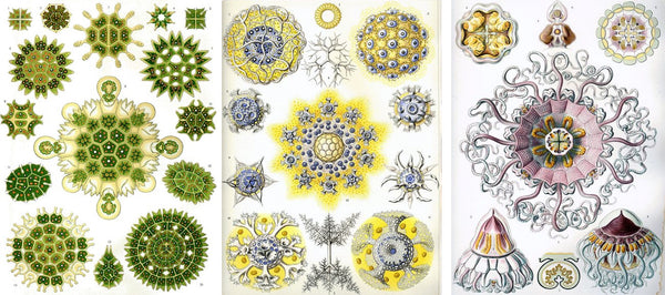 ernst haeckel's various illustrations