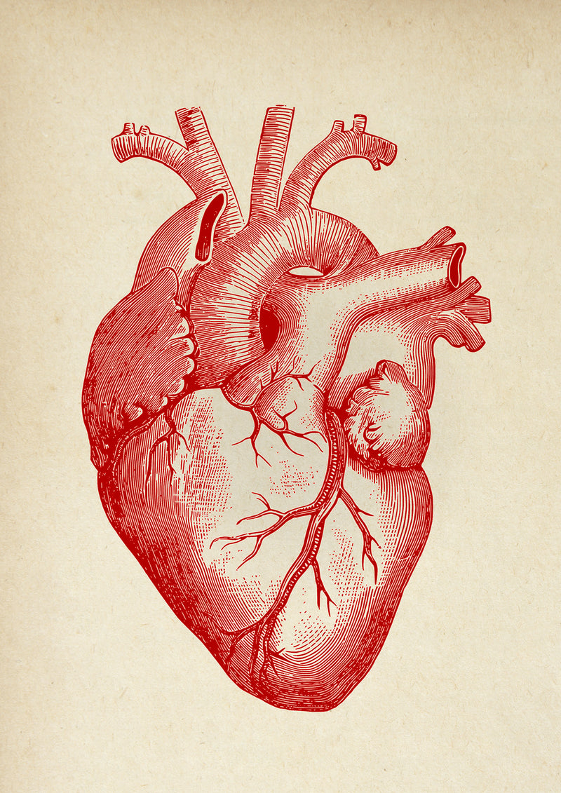 Anatomical Heart Sepia - Kuriosis Vintage Prints