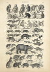Mammalia Animal Illustration Vintage Poster