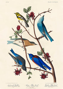 Artic and Western Blu-Bird of Birds of America - Kuriosis Vintage Prints