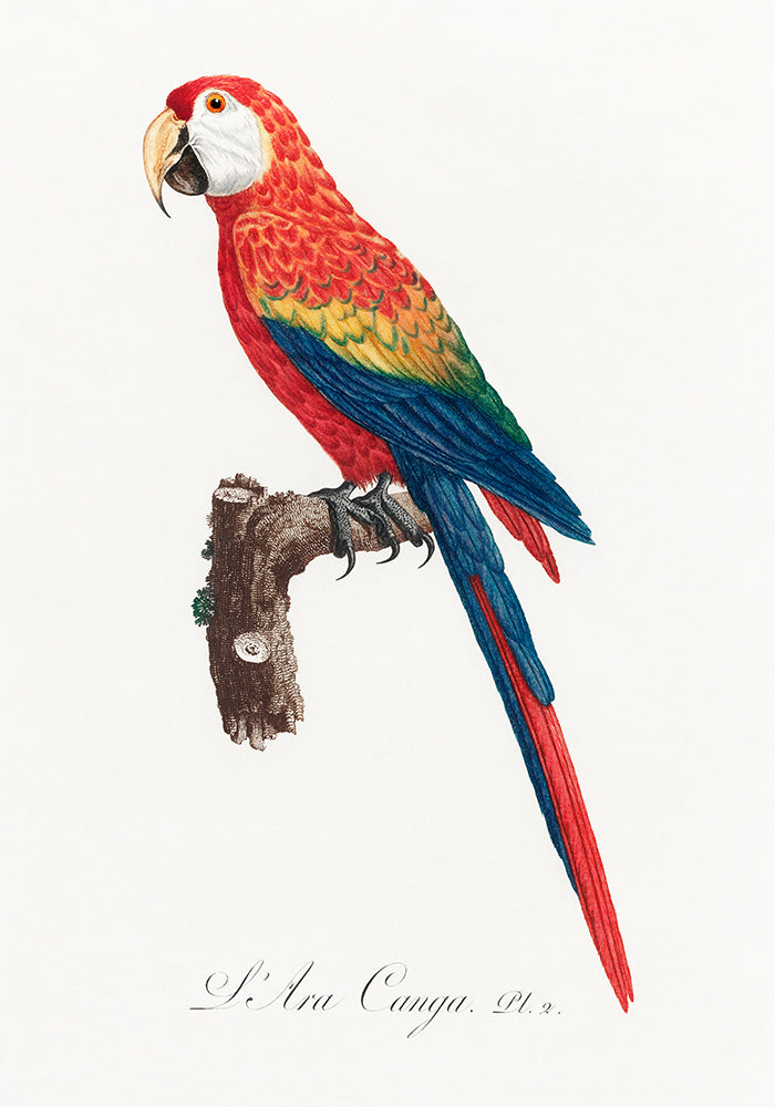 Ara Canga Parrot  Poster - Perfect for Kids room! - Kuriosis Vintage Prints