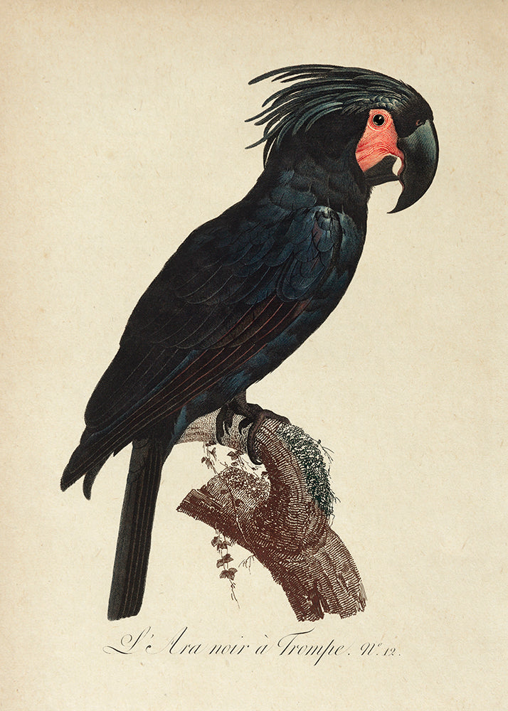 Black Macaw Poster - Perfect for Kids room! - Kuriosis Vintage Prints