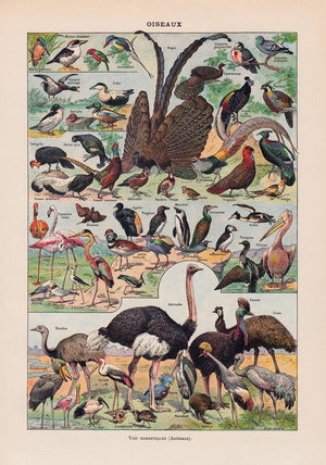 Bird Collection Larousse II Poster