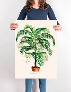 Poster Coco Weddelliana Palm Tree - Kuriosis Vintage Prints