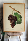 Grape Vintage Chart - Kuriosis Vintage Prints