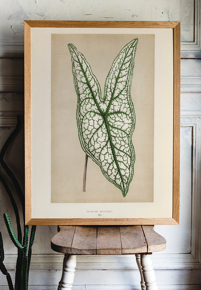 Caladium or Heart of Jesus - Rare Leaves Poster - Kuriosis Vintage Prints