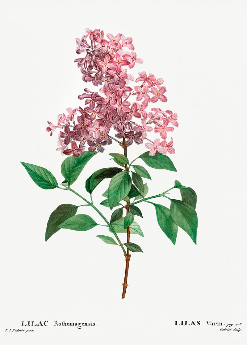 Chinese Lilac Flower Botanical Poster
