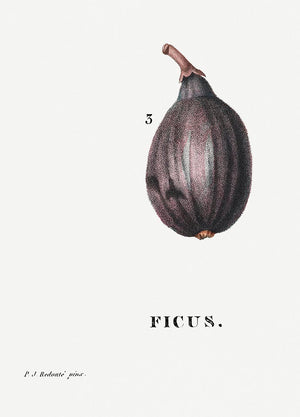 Figs Botanical Poster