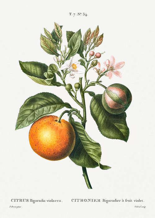 Bitter Orange Flower Botanical Poster