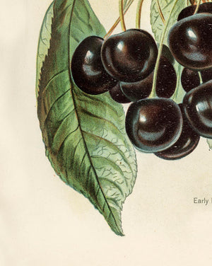 Early Rivers Cherries Fruit Poster