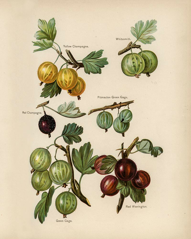 Whitesmith Cherries Fruit Poster