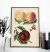 Crimson Galande Peaches Fruit Poster