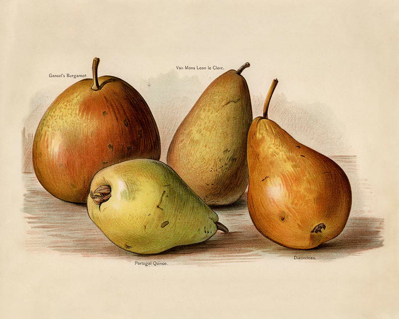 Bergamot Durondeau Peaches Fruit Poster