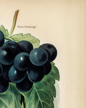 Buckland Sweetwater Grapes Fruit Poster