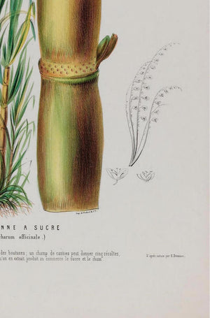 La Canne Botanical Poster
