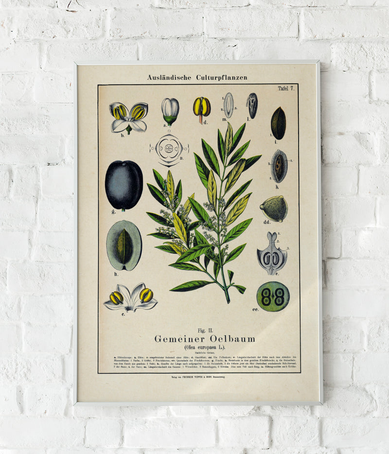 Olive Plant Poster