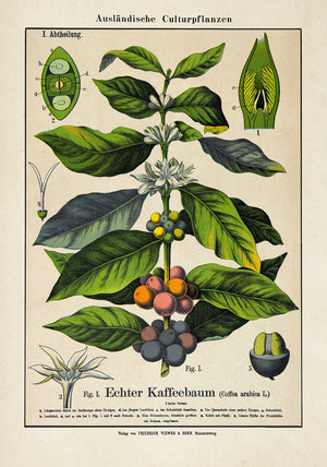 Coffee Plant Poster