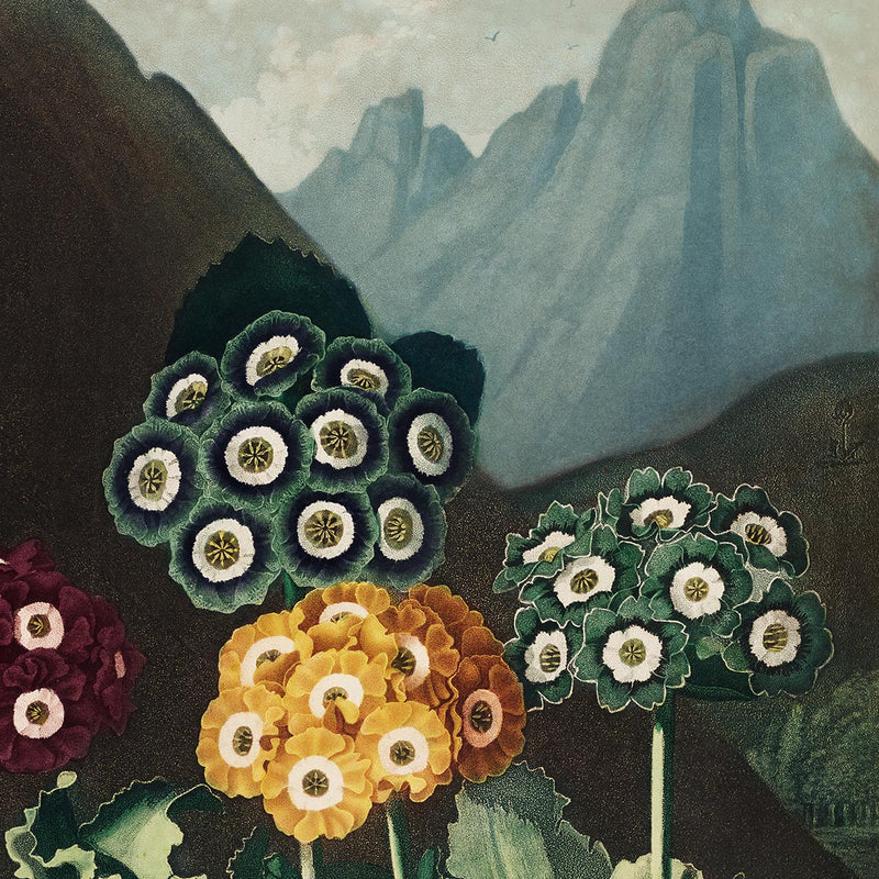 Auriculas from The Temple of Flora