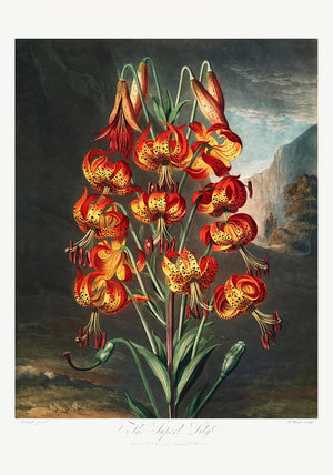 The Superb Lily from The Temple of Flora