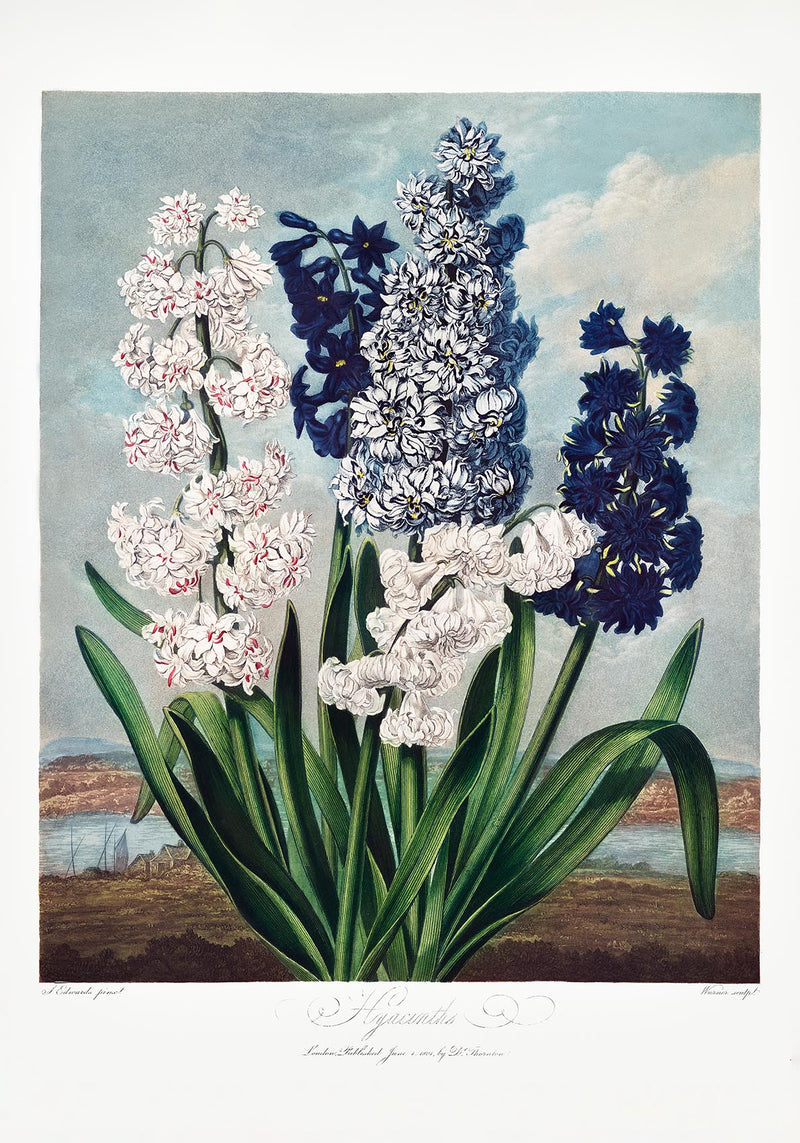 Hyacinths from Temple of Flora
