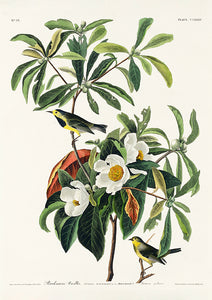 Bachman's Warbler of Birds of America