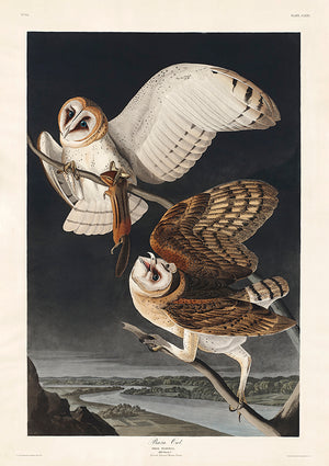 Barn Owl of Birds of America - Kuriosis Vintage Prints