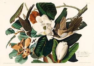 Black-billed Cuckoo of Birds of America - Kuriosis Vintage Prints
