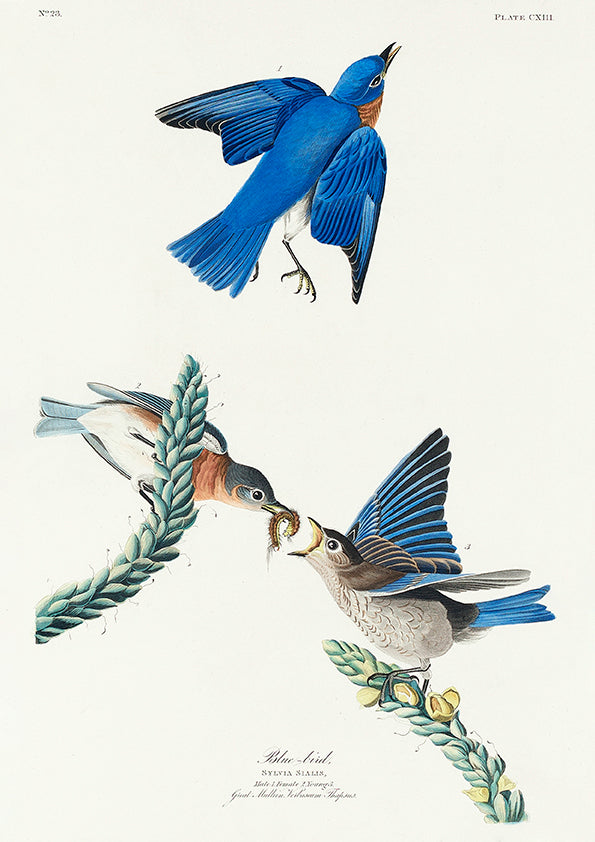 Blue Birds of Birds of America - Kuriosis Vintage Prints