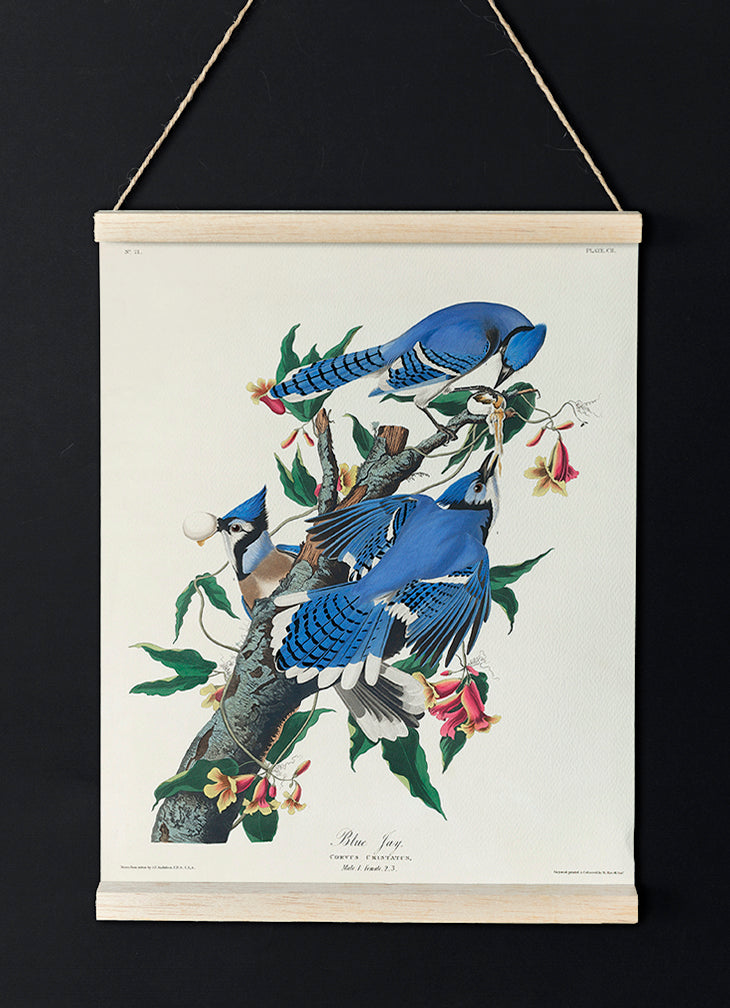 Blue Jay of Birds of America - Kuriosis Vintage Prints
