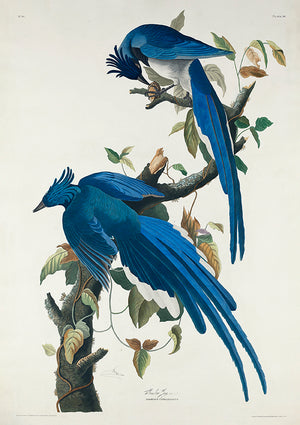 Columbia Jay of Birds of America - Kuriosis Vintage Prints
