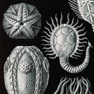 Cystoidea by Ernst Haeckel Poster