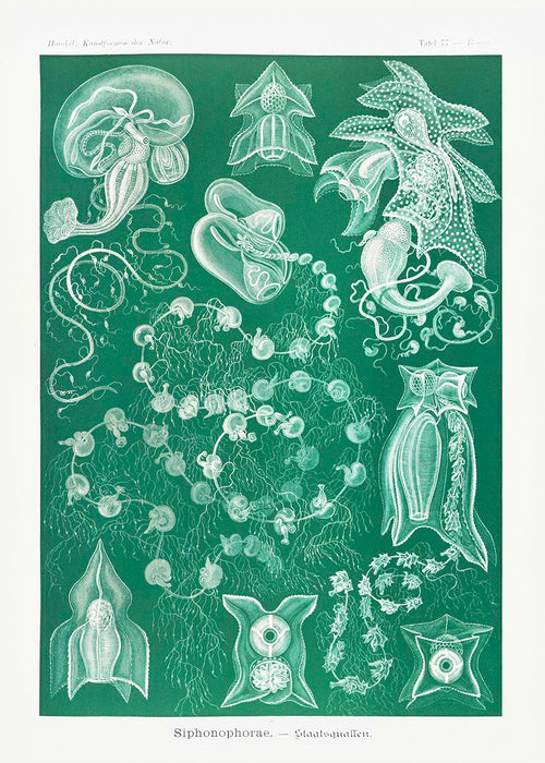 Siphonophorae I by Ernst Haeckel Poster