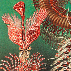Chaetopoda by Ernst Haeckel Poster