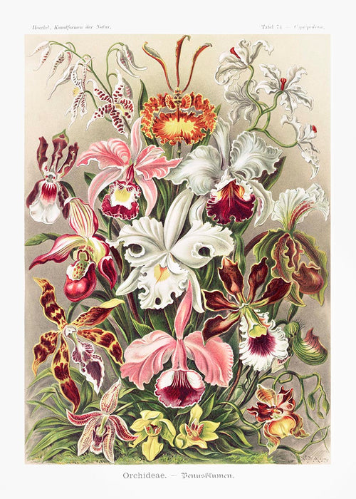 Orchideae Lilly Flowers by Ernst Haeckel Poster with borders