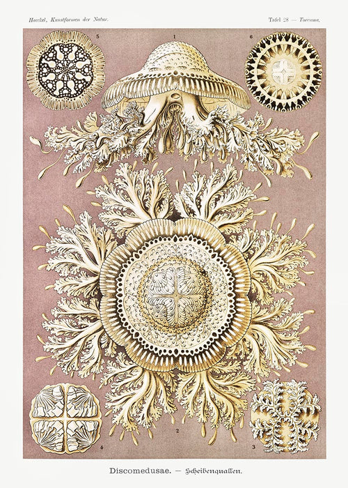 Discomedusae II by Ernst Haeckel Poster