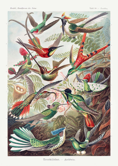 Birds of Paradise by Ernst Haeckel Vintage Poster with a white border