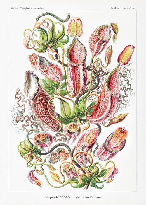 Nepenthaceae by Ernst Haeckel Poster