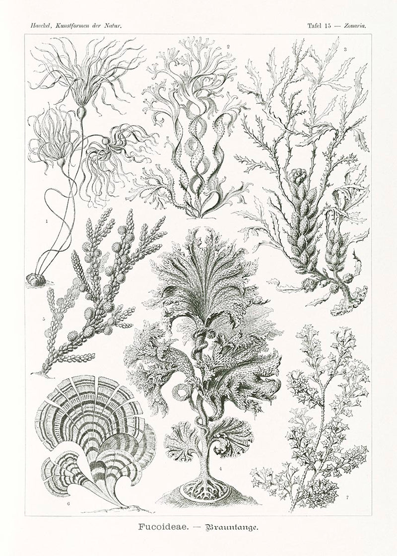 Fucoideae by Ernst Haeckel Poster