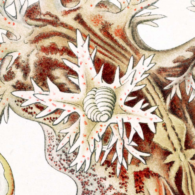 Nudibranchia by Ernst Haeckel Poster