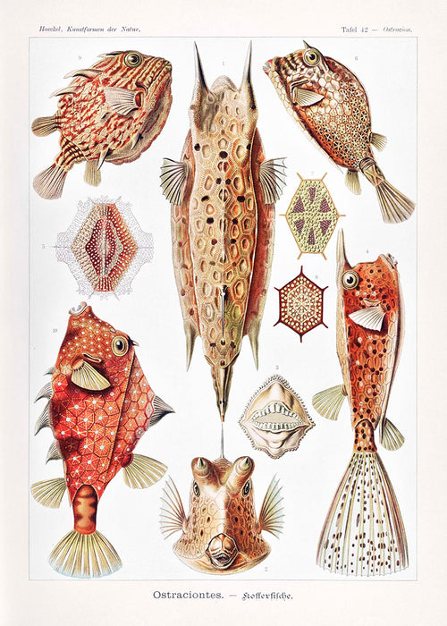 Ostraciontes by Ernst Haeckel Poster