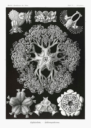 Ophiodea by Ernst Haeckel Poster